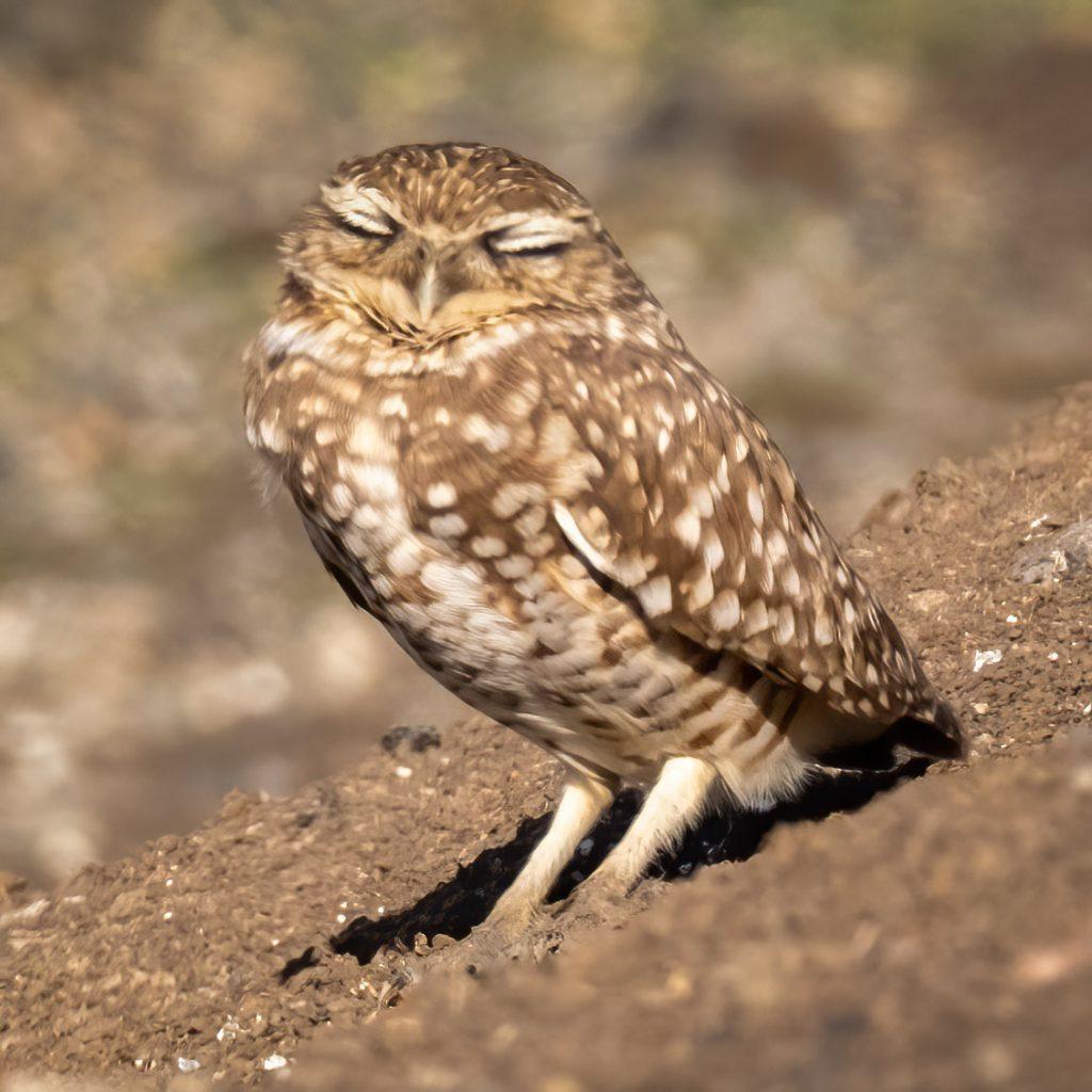 Sleeping Burrowing Owl